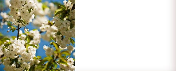 white-cherry-blossom